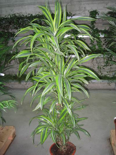 Zimmer pflanzen araceae plants related keywords araceae for Pflanzen zimmerpflanzen